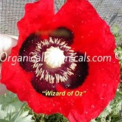 Wizard of Oz Red Papaver somniferum Poppy Seeds