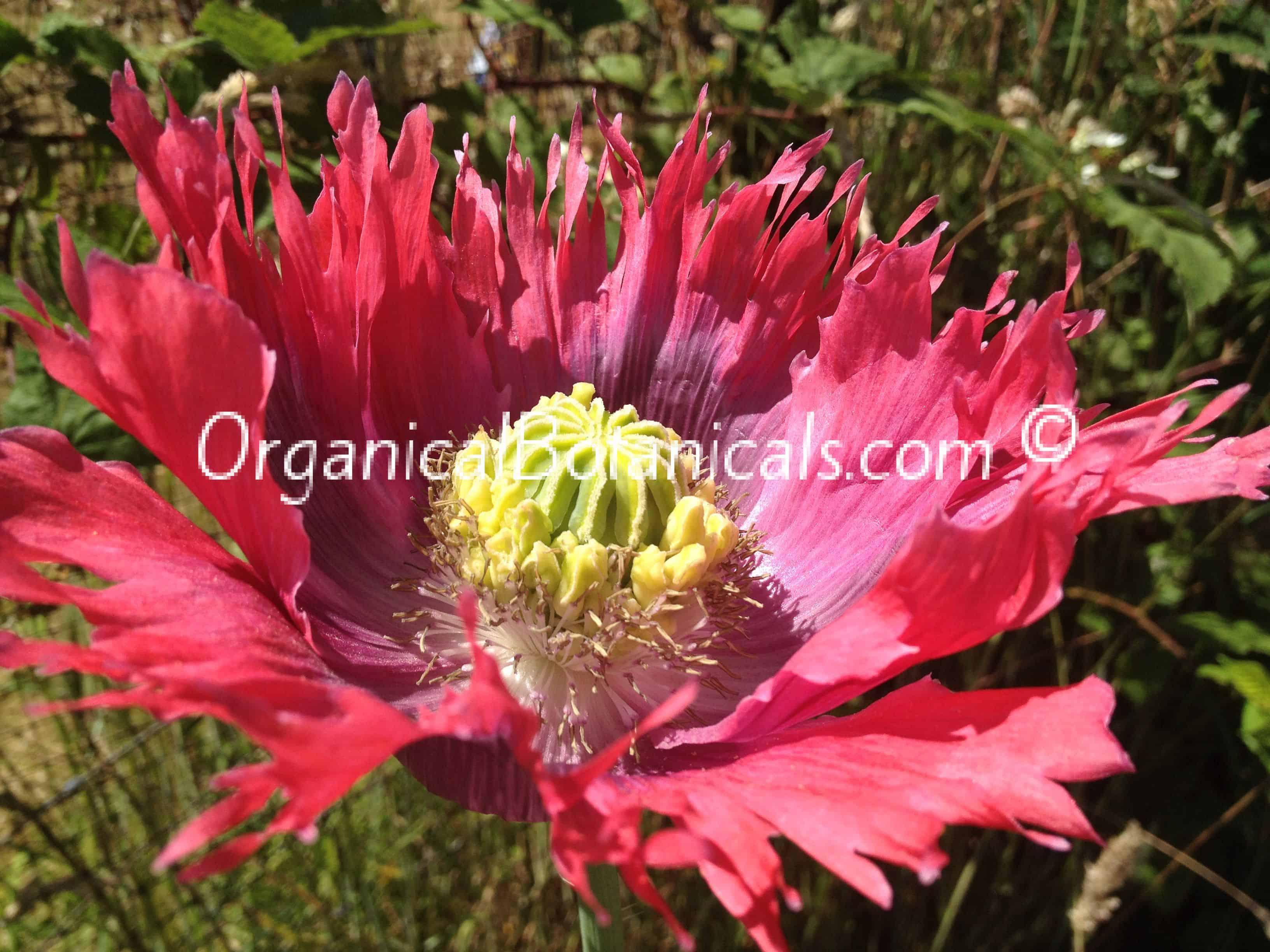 izmir hens n u0027 somniferum poppy seeds unique pod