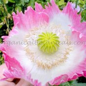 pink flamingo papaver somniferum poppy flower seeds
