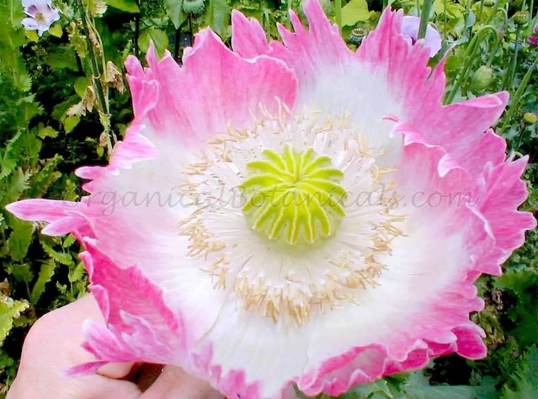 100 Pink Flamingo Queens Papaver Somniferum Poppy Seeds New
