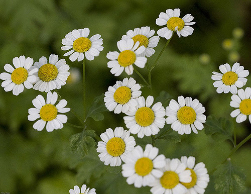 fresh flowers for a fresh daisy tincture without alcohol