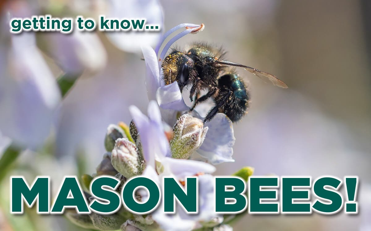 GETTING TO KNOW MASON BEES