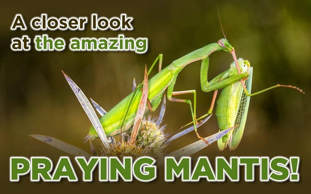 THE AMAZING PRAYING MANTIS