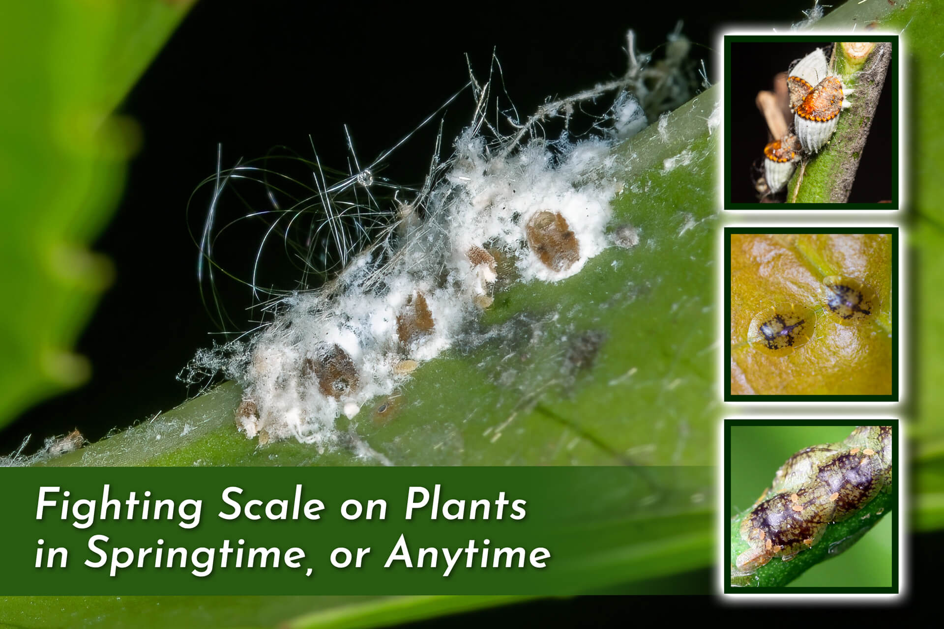 white blossoms with three square images on the right of an aphid larvae and ticks