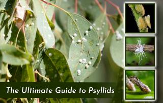 photo of gum lerp psyllid on eucalyptus leaves with three square images of other psyllid infested plants
