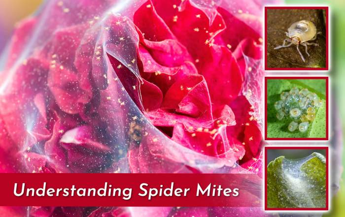 photo of rose covered in webbing created by spider mites with three square images of other mite infested plants