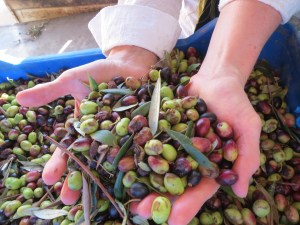 Tunisian Olives
