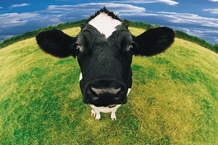 cow friesian