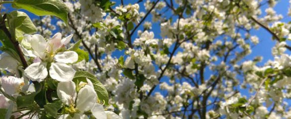 Best Spring Flowering Trees for Central NJ   PA   Organic Plant Care     Best Spring Flowering Trees for Central NJ   PA