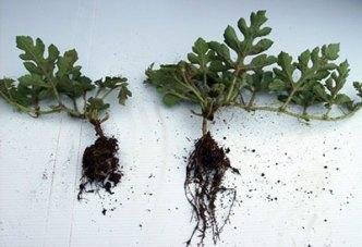 Comparación de la planta de melon cultivada con Trichoderma (derecha) versus sin Trichoderma (izquierda)