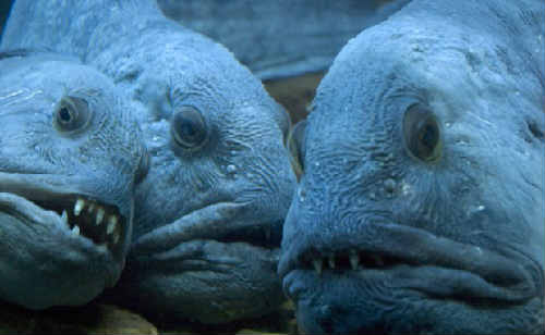 Рыба зубатка: польза и вред, фото, где водится, как ...