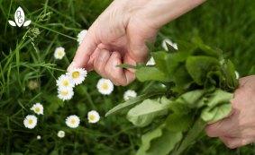Gaensebluemchen sammeln