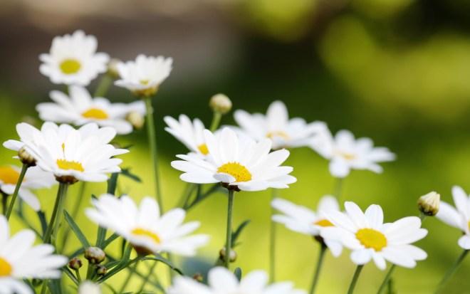 White-Summer-Flowers-Parennial