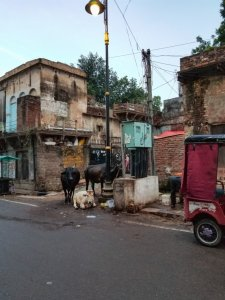 Cows in the streets of Varanasi