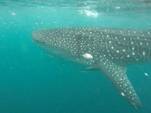 Whale Shark in the Ningaloo Reef Western Australia
