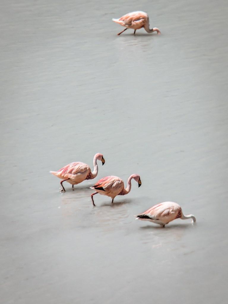 Laguna Chiarcota flamingos Bolivia