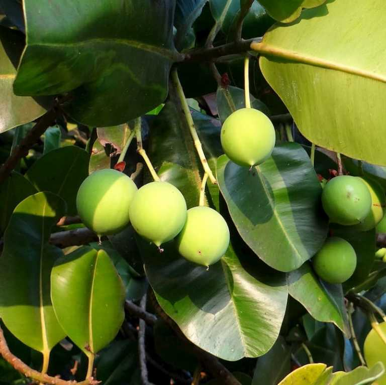 Read more about the article Tamanu oil wonderful 6 benefits and uses