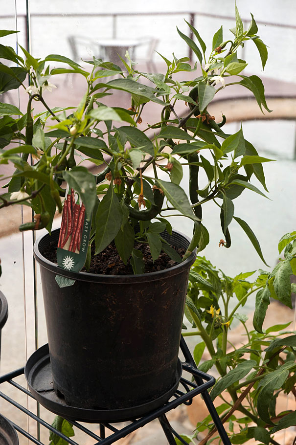 Hot Chilli Peppers Growing in a Pot