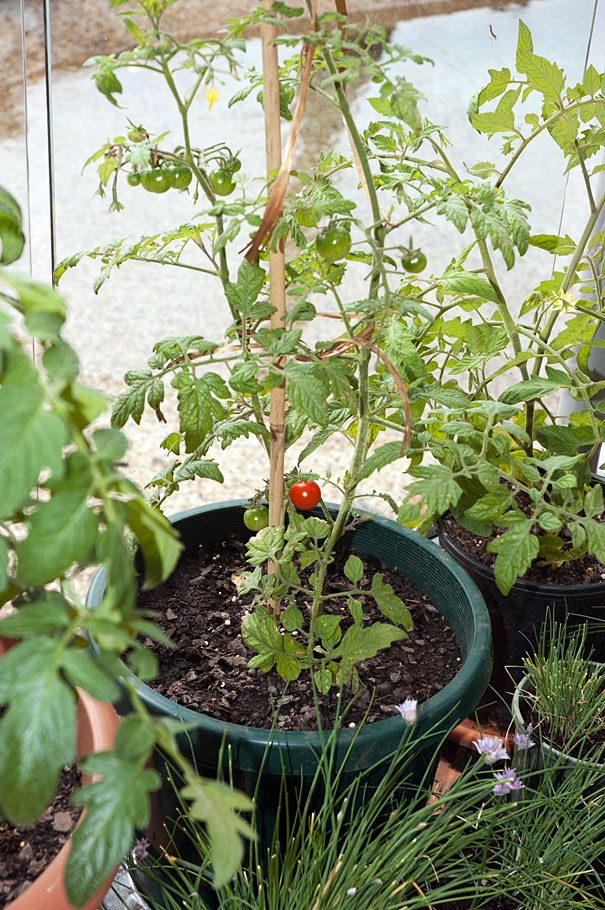 My First Cherry Tomato