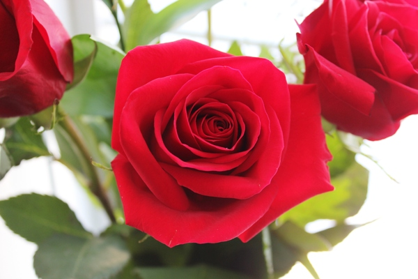 Stunning red roses for Valentine's Day