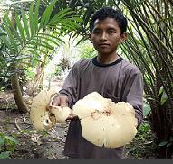 Kepincut Jamur Barat, Mahasiswa ini Kembangkan Penelitian di IPB