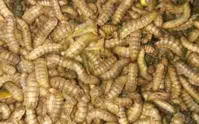 Cara Budidaya Maggot/ Belatung Untuk Pakan Ternak