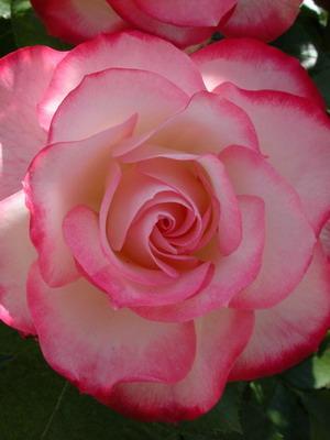 Цветы розы с описанием, названием сортов и фото: садовые и ...