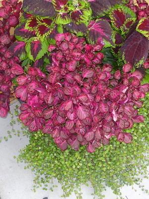 Цветы и растения с бордовыми и фиолетовыми листьями и их фото