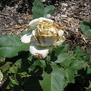 Болезни и вредители роз, борьба с ними растительными и ...