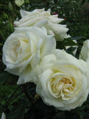 Розы флорибунда: фото, видео, названия и описание лучших ...