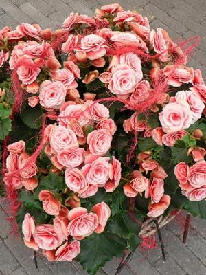 Растение бегония: описание цветка, выращивание, уход ...