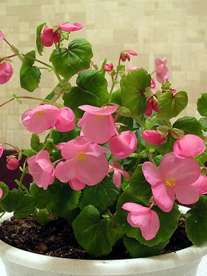 Begonia i metallica esotica casa pianta facile da accudire 9cm