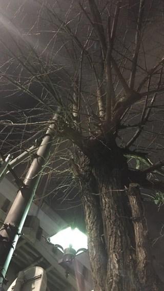 高岳南の交差点にあるイチョウの木を下からあおぐ