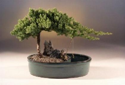 Image result for juniper bonsai tree