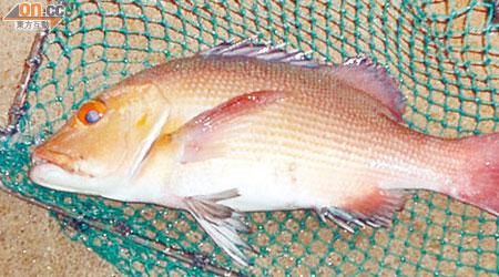 五人食珊瑚魚中雪卡 - 東方日報