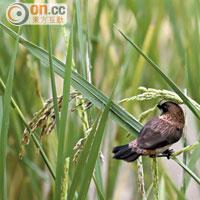 稻米成熟時,引來大量禾花雀的掠奪,驅之不去。