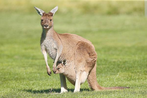 動物大百科: 袋鼠 Kangaroo