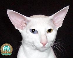 Голубой цвет глаз, производный от желто-зеленого