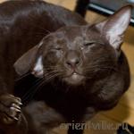 Ориентальная кошка, гавана, Аврора