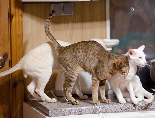 ориентальная кошка шоколадная пятнистая