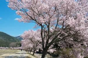 【4月といえば】日本の伝統行事・食べ物・風物詩【歳時記】