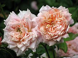 Роза Фестиваль де Жардинс де Шамонт описание. Фото розы ...