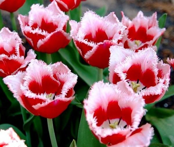 Тюльпан Канаста фото, описание, распространение