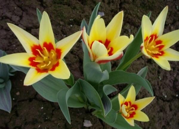 Тюльпан Корона фото, описание, распространение