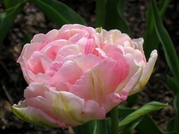 Тюльпан Пинк Стар фото, описание, распространение