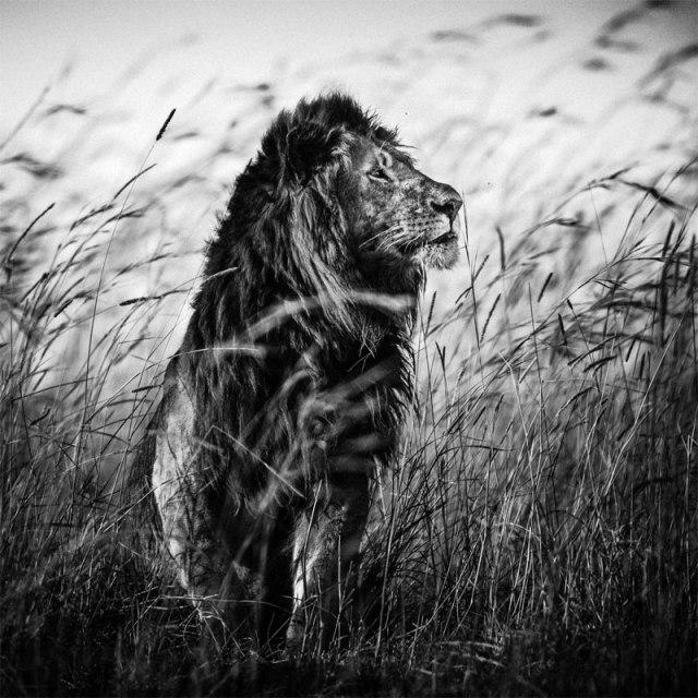 3759-Lion in the grass I, Kenya 2013 ©Laurent Baheux