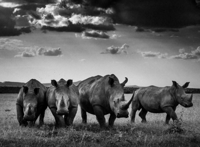 4403-Rhinos quartet, Kenya 2013 © Laurent Baheux