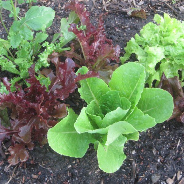 Growing Lettuce Greens How To Grow Lettuce