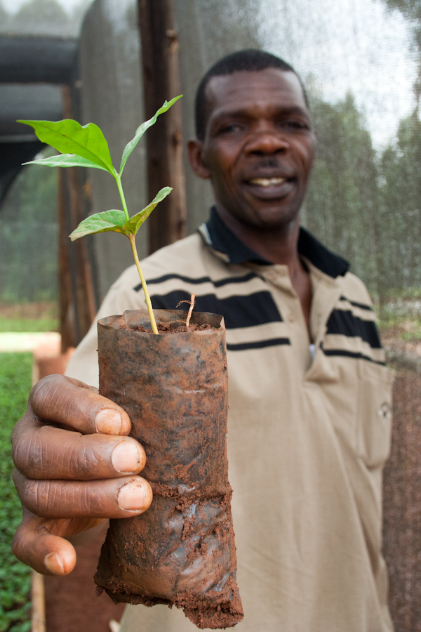 Uganda White Nile Coffee Seedlings