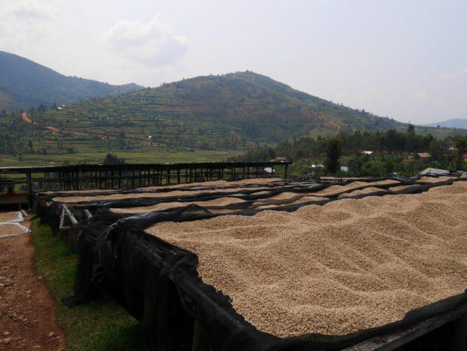 Coffee Drying - Rwanda BUF Cafe